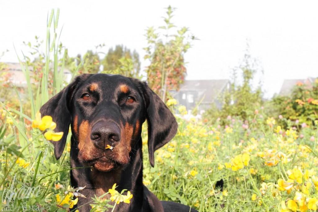 Hundemessen in Deutschland _Hund auf Wiese_Aram und Abra (1)